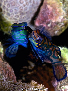 Mating of Mandarinfishes by Iyad Suleyman 